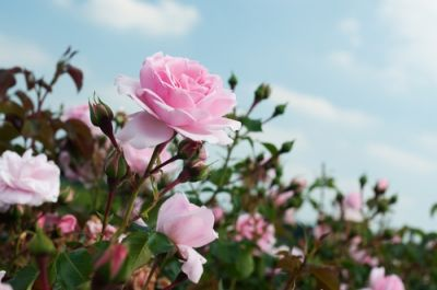 Coming up: the Rose Festival