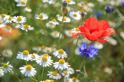 How to sow a wildflower meadow patch