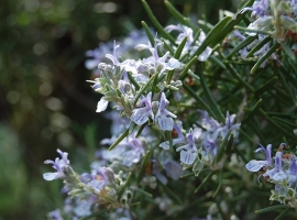 Grow your own bouquet garni